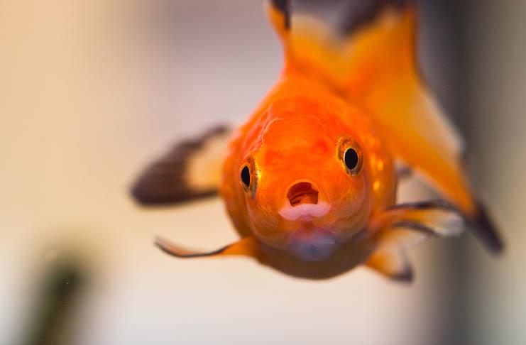 Operation Goldfish Alpha