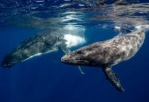 Swimming with whales: you must know the risks and when it's best to keep your distance